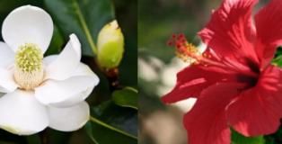 magnolia e_ibisco