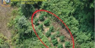 Droga: piantagione con 500 fusti canapa scoperta a Lamezia