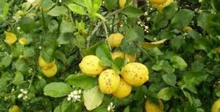 limoni_cenere_lavica