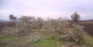 Piante di ulivo tagliate