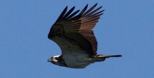 Falco_pescatore_-_Pandion_haliaetus